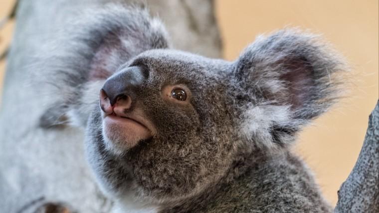 Коал объявили функционально вымершими вАвстралии