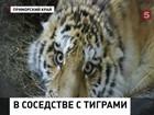 Жителей дальневосточных деревень осаждают тигры