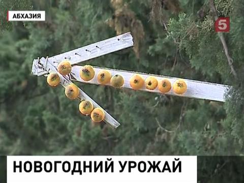 В Сочи и Абхазии торопятся собрать мандарины