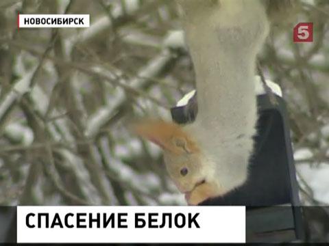 В Новосибирске браконьеры истребляют белок