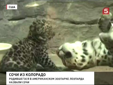 В Денвере новорожденного леопарда назвали Сочи