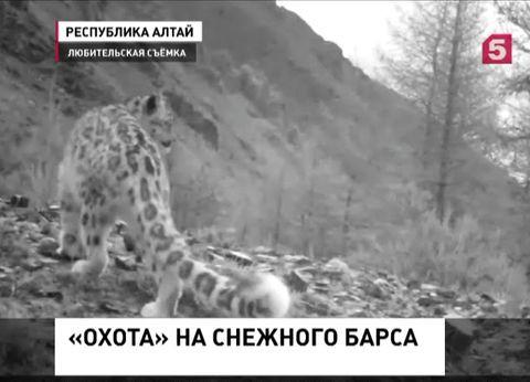 На Алтае спасают от браконьеров снежных барсов