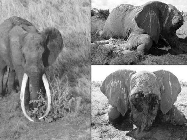 Старейшего слона наЗемле убили отравленной стрелой
