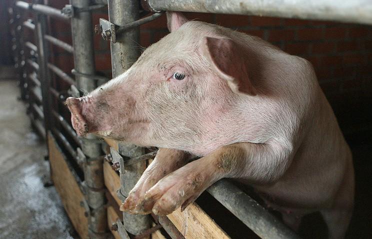 ВИркусткой области ликвидировали вспышку африканской чумы свиней. ВБурятии кней готовятся