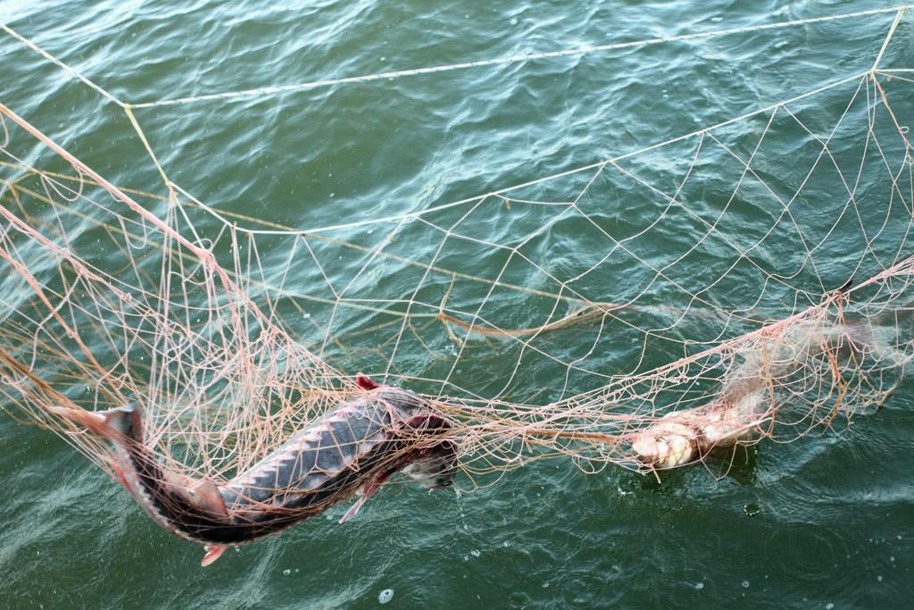 Браконьеры достали изНевы рыбы на2 миллиона рублей