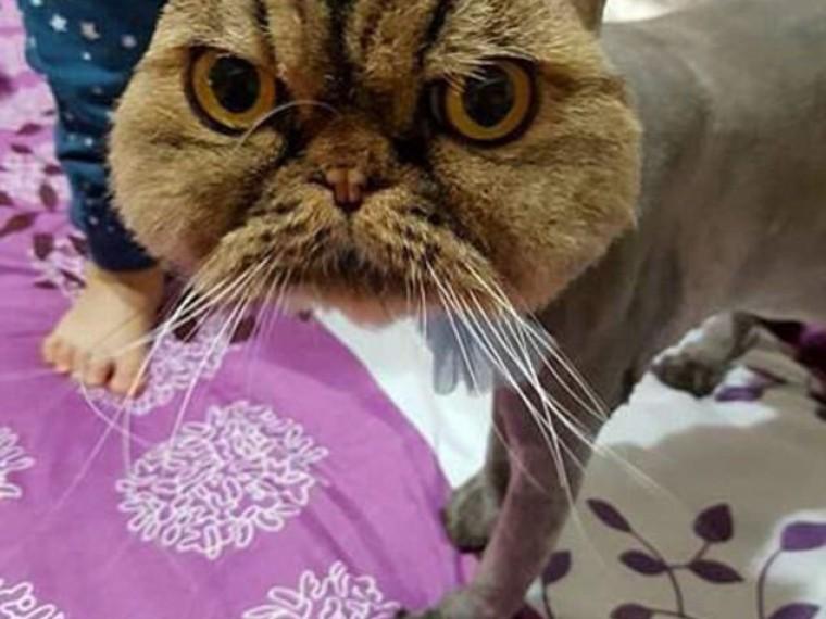 Картинка бритый кот