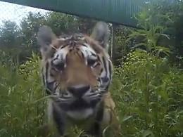 ВПриморье спасённый отбраконьеров тигрёнок идёт напоправку