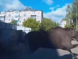 Отчаянный сохатый: вИванове лось чудом непротаранил машину