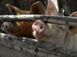 ВВологодской области осужден распространитель чумных свиней