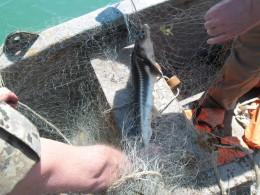 ВКерченском проливе пограничники спасли отбраконьеров краснокнижного дельфина