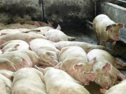 Африканская чума свинейблокирует дороги вПсковской области