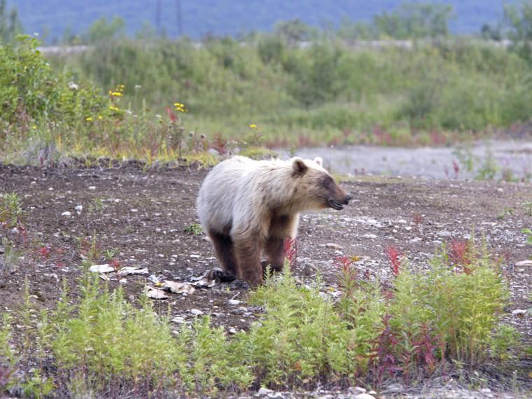 ВКамчатском крае полицейские отстрелили медведя, зашедшего натерриторию больницы