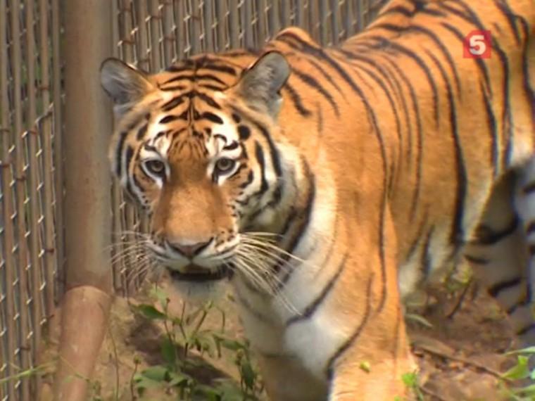 ВПриморском крае тигры ведут себя странно идружат стеми, кого должны есть