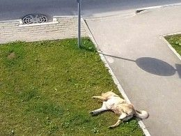 Жестокие догхантеры травят собак вКалужской области. Шокирующие кадрыпопаливобъективкамеры