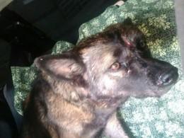 ВТюменской области двое мужчин «отскуки» вбили гвозди вголову собаки