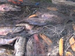 Заповедная река Камчатки переполнилась тоннами мёртвой рыбы
