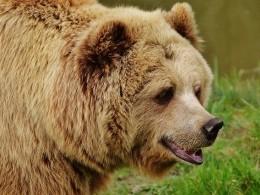 ВТомской области рассвирепевший медведь оставил охотника без лица