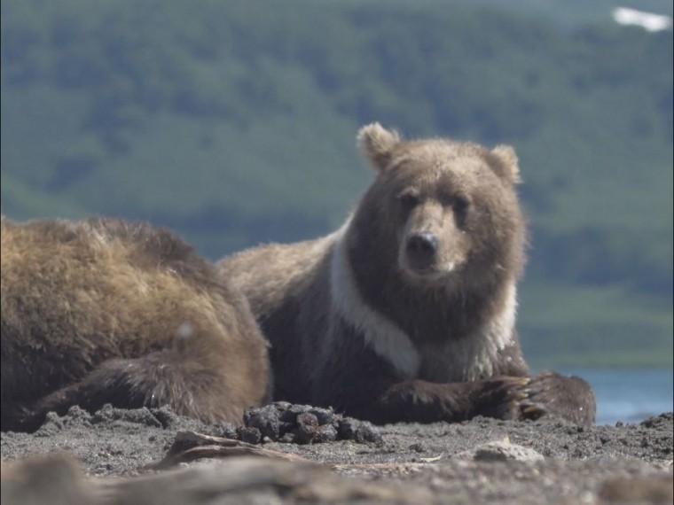 Фото курильского белого медведя