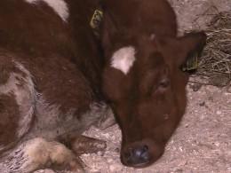 Умирающих отголода коров вКарелии спасают всем миром