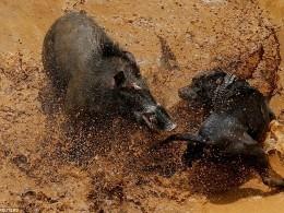 Собаки против кабанов— вИндонезии проводят животные бои насмерть