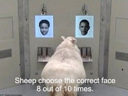 Нетакие тупые как кажутся— овцы способны узнать нафото Барака Обаму
