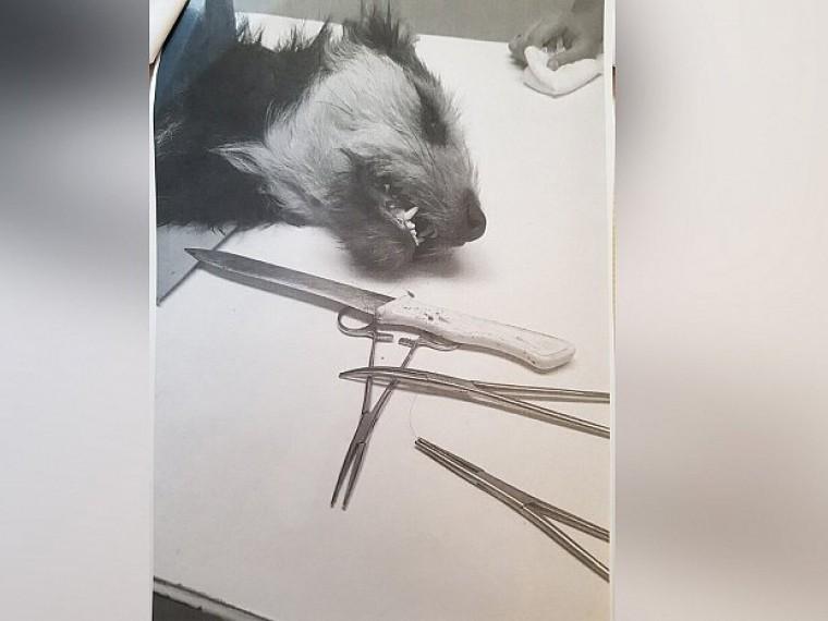 Челябинские полицейские ищут живодеров, всадивших нож вгорло собаки