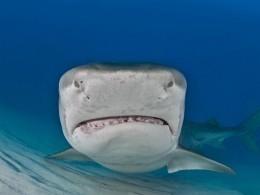 Тигровая акула растерзала бесстрашную туристку упобережья Коста-Рики