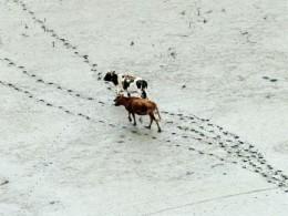 Пострадавший из-за GPS-трекера для коровы фермер необращался кправозащитникам