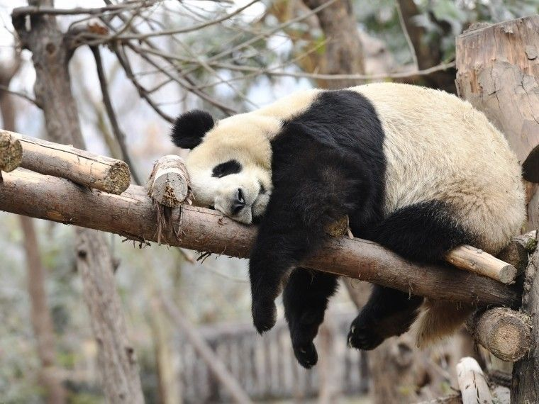 Ученые выяснили, что насамом деле сделало панд травоядными