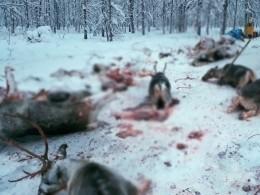 Изверги-браконьеры жестоко растерзали десятки северных оленей— опубликованы жуткие снимки