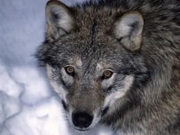 ВМурманской области голодная волчица ворует собак
