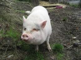 Канадец взял изприюта вьетнамскую свинку Молли исъел её
