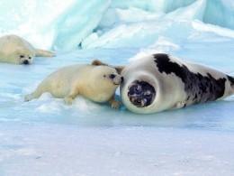 День белька! Детёныши тюленей отмечают свой собственный праздник
