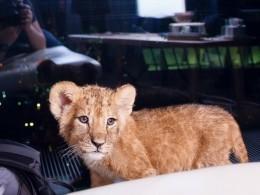 Четырехмесячная львица умерла отжестокого обращения и«работы» вкальянных Москвы