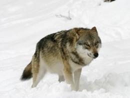 ВНовой Москве поймали молодую волчицу вошейнике