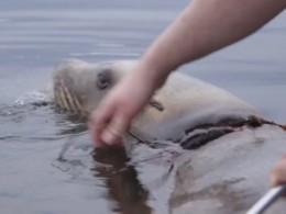 ВКанаде спасли изпластиковой петли молодого морского льва