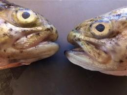 Зараженную стафилококком рыбу обнаружили водном измосковских магазинов