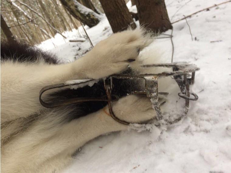 Капкан на волка своими руками фото