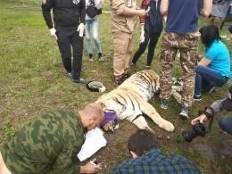 Молодых амурских тигров подготовят к«мягкому» выпуску вЕАО