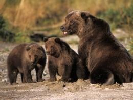 НаАляске разрешат охотиться наредкие породы медвежат иволчат