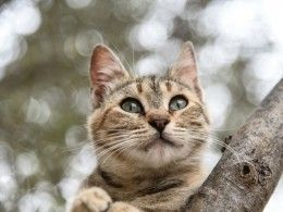 Видео: кошка воспитала рысь