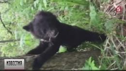 Вцентре реабилитации Приморского края выхаживают гималайского медвежонка