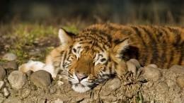 Скромный амурский тигр Сайхан расправился кволком-конкурентом