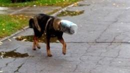 Бездомная собака две недели жила спластиковой канистрой наголове
