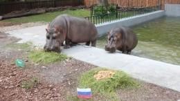 Бегемоты-оракулы изКалининграда сделали прогноз напервый матч России наЧМ