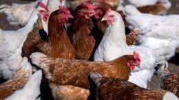 Казахстан запретил ввоз продукции 36 птицефабрик РФ:кому витоге стало хуже?