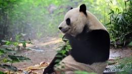 Видео: зоологи наблюдают забеременной пандой Мэй Сянь