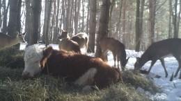 ВСША корова возомнила себя оленем игод прожила влесу— видео