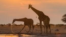 Американская живодерка застрелила редкого жирафа ивыложила фото сним всоцсети