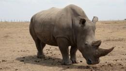 Биологи нашли способ «воскресить» белого носорога спомощью ЭКО